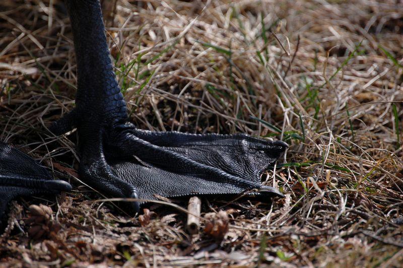 Goose foot